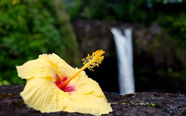 Yellow hibiscus near Rainbow falls stock photo