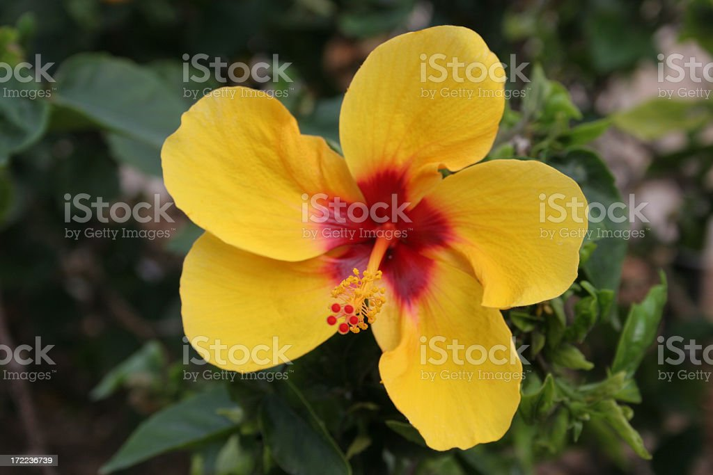 Yellow Hibiscus royalty-free stock photo