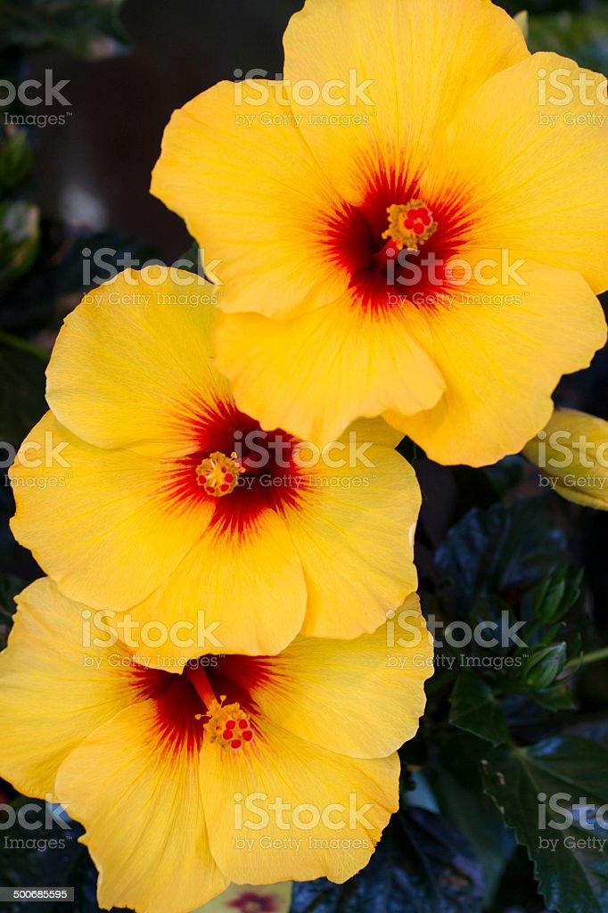 Yellow Hibiscus stock photo