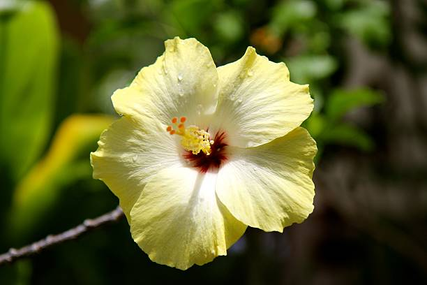 royalty free hawaii state flower pictures images and stock photos