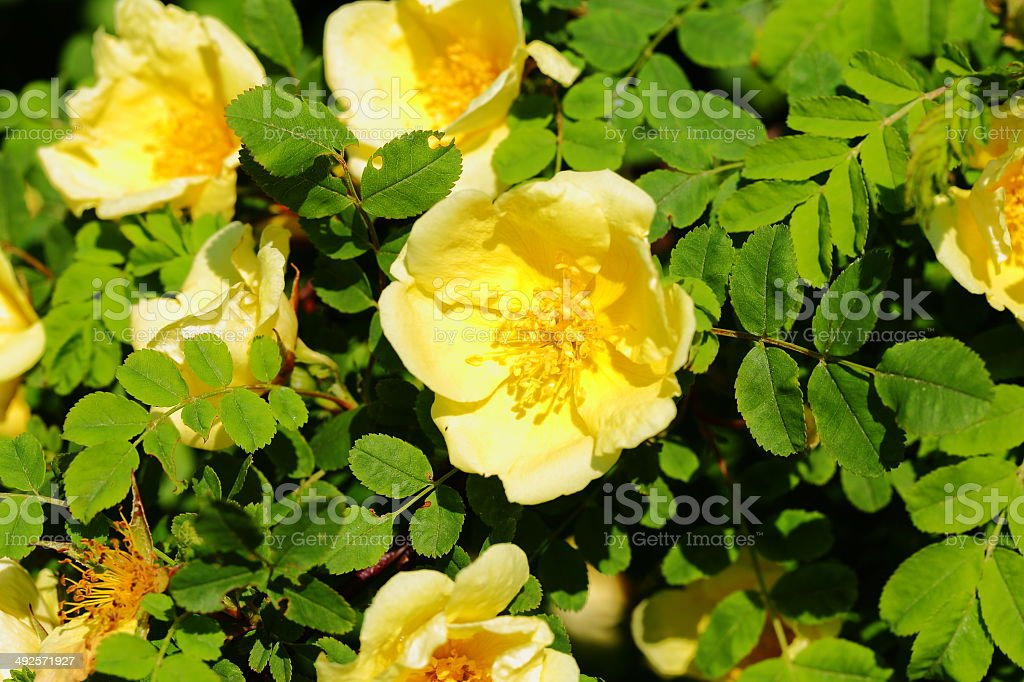 yellow hip rose flower stock photo
