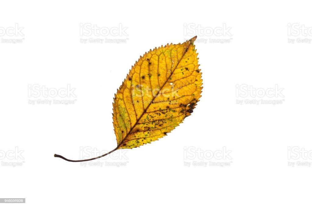 Sonbahar Boyama Sarı Gürgen Yaprak Stok Fotoğraflar
