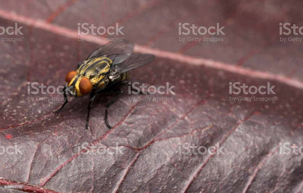Yellow house fly on a red tree leaf stock photo
