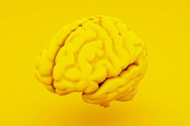 Yellow Human Brain, Anatomical Model. 3D illustration Yellow Human Brain, Anatomical Model. 3D illustration. stereoscopic image stock pictures, royalty-free photos & images