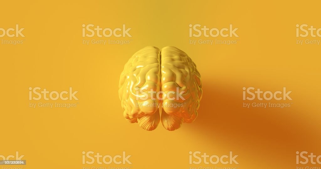 Yellow Human brain Anatomical Model stock photo