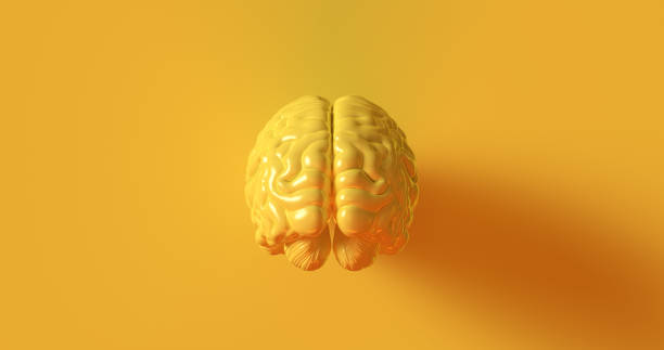 cérebro humano amarelo modelo anatômico - brain - fotografias e filmes do acervo