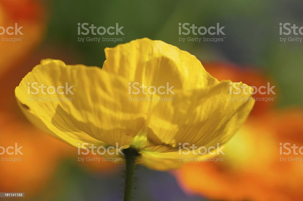 Yellow iceland poppy in the counter-light royalty-free stock photo