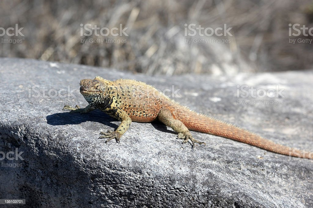Yellow iguana in Galapagos Island royalty-free stock photo
