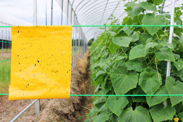yellow insect glue trap cucumber plant in greenhouse agriculture - mottenfalle stock-fotos und bilder