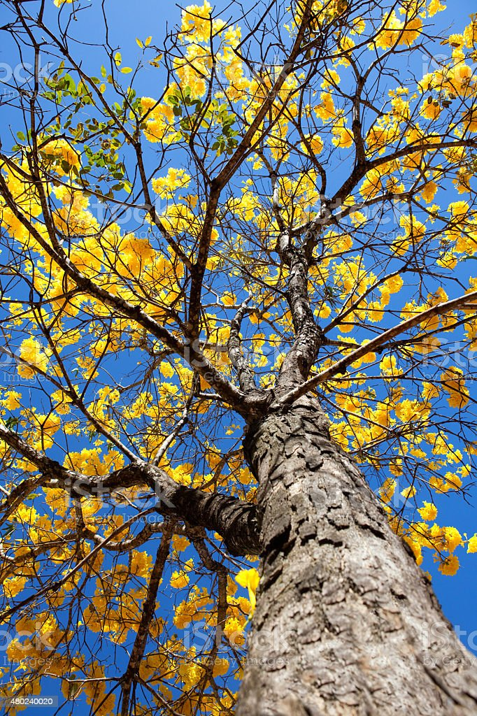 Amarelo, Amarelo do Ipê árvore de baixo ângulo de foto foto royalty-free