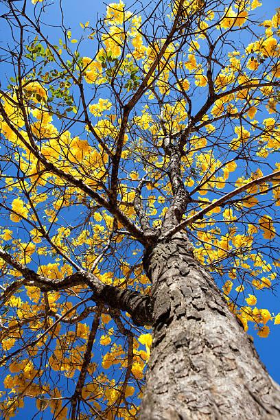 Amarelo, Amarelo do Ipê árvore de baixo ângulo de foto - foto de acervo