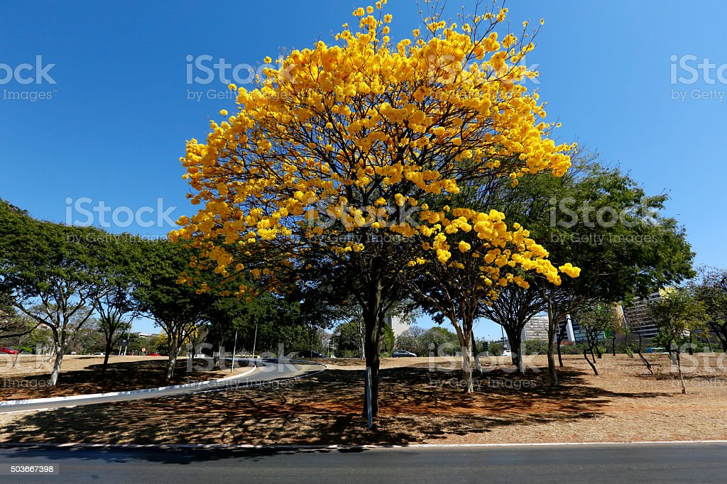 Yellow Ipe Tree stock photo