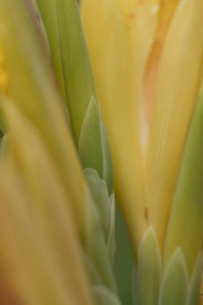 Yellow iris bud extreme close up stock photo