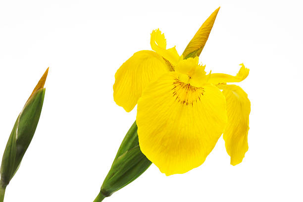 Yellow Iris (Iris pseudacorus), close-up stock photo
