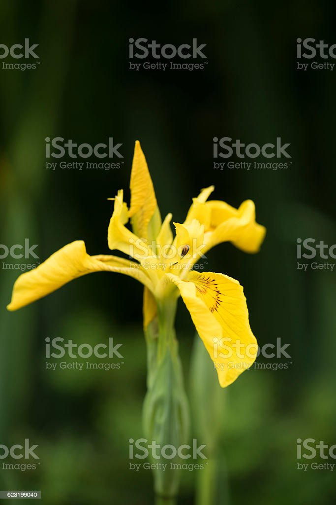 Yellow iris in summer royalty-free stock photo