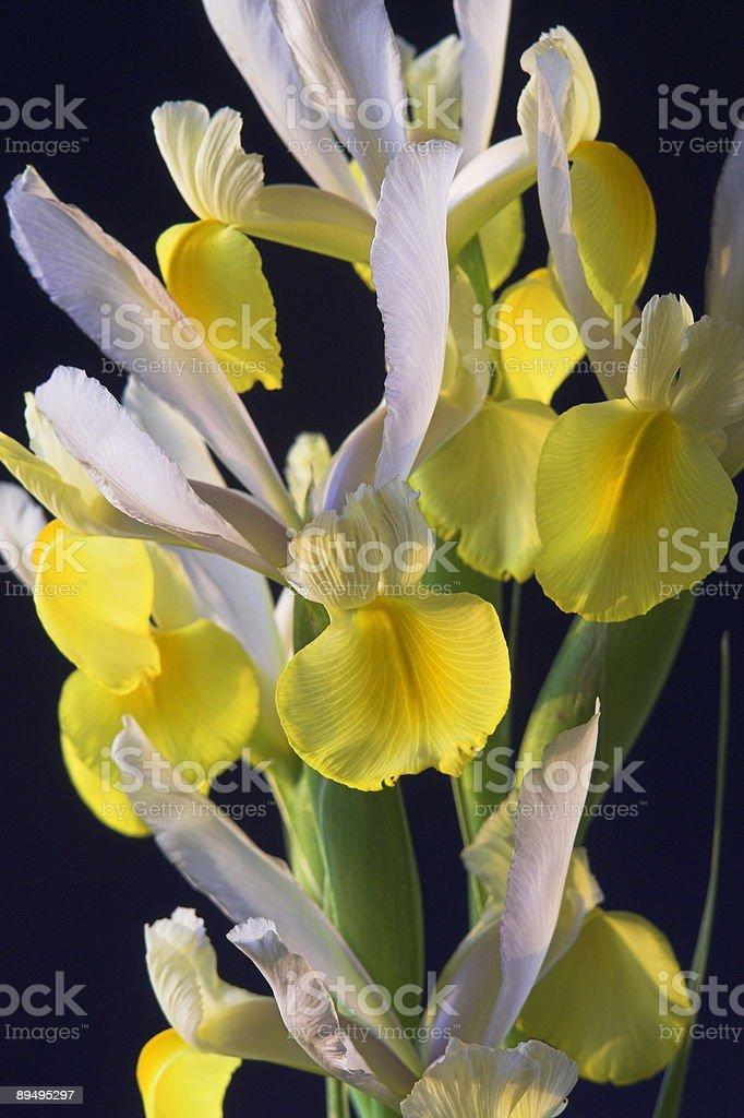 yellow iris royalty free stockfoto