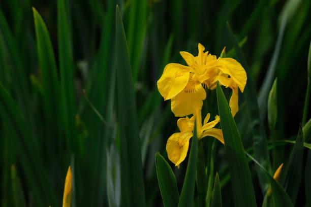 Gelbe Iris pseudacorus – Foto