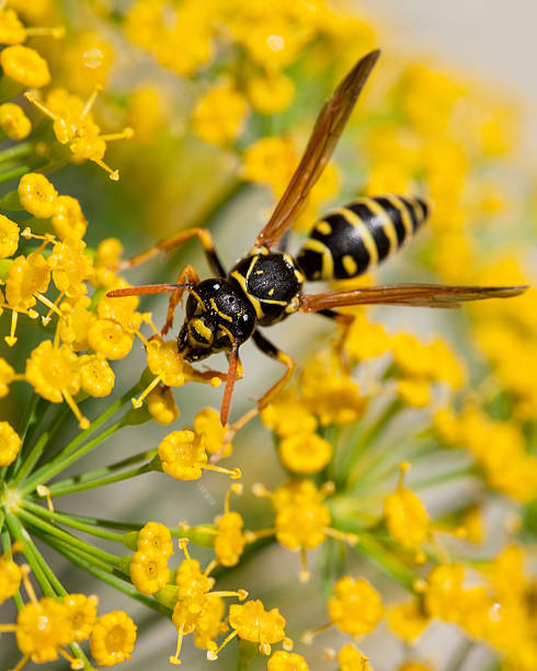Yellow Jacket (Wasp) Collecting Pollen stock photo