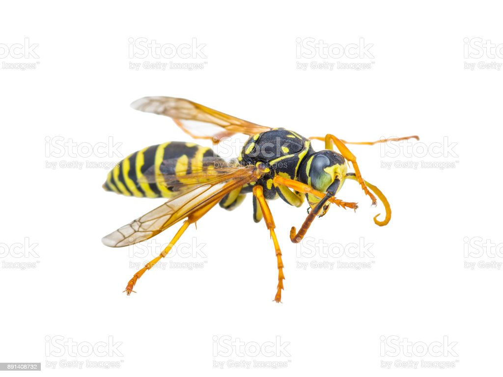 Yellow Jacket Wasp Insect Isolated on White stock photo