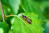 Yellow Jacket Wasp Insect on Green Leaf