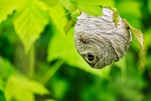 Yellow Jacket Wasp Nest stock photo
