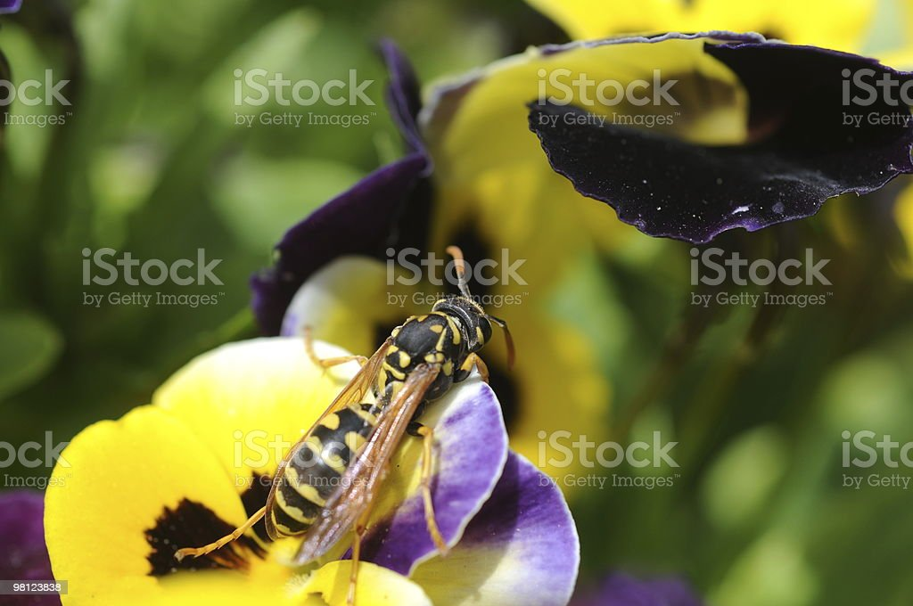 Yellow Jacket Wasp on Pansy Flower royalty-free stock photo