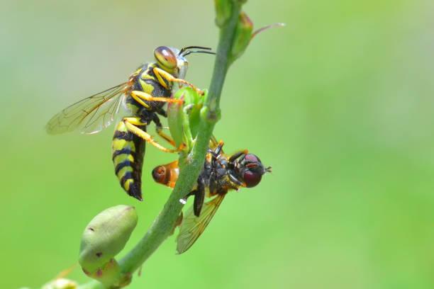 jaqueta amarela vespa empoleirada sobre a bela flor - vespa comum - fotografias e filmes do acervo
