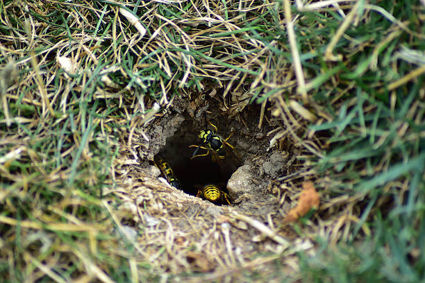 yellow jacket wasps leaving nest. - 外套 個照片及圖片檔