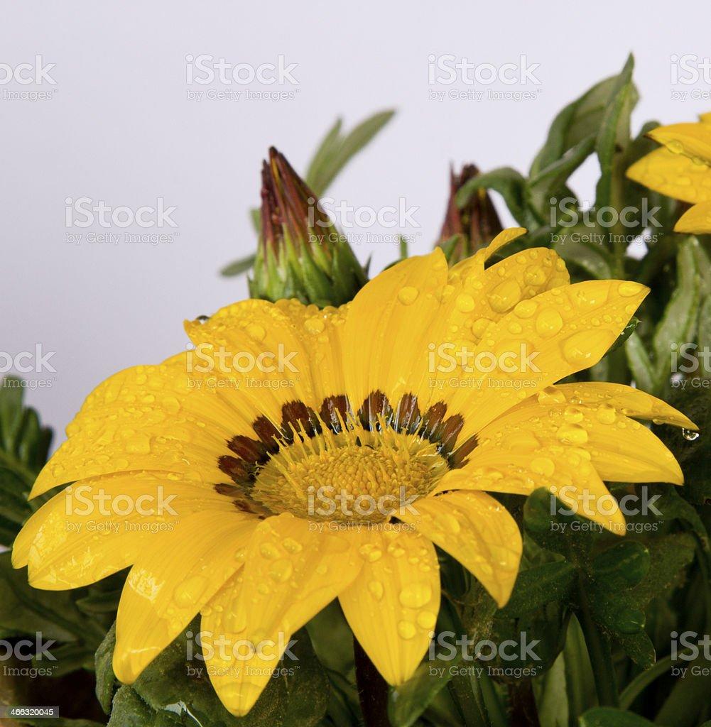 yellow jenia flower against white stock photo