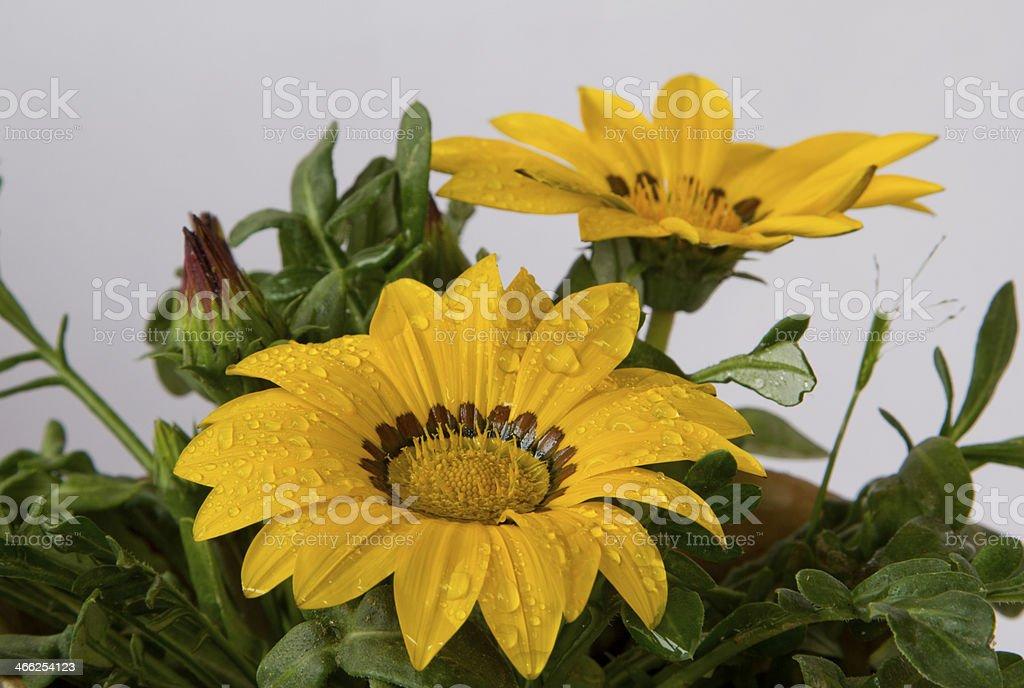 yellow jenia flower stock photo