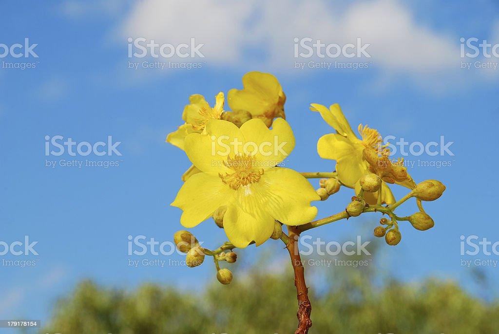 Yellow Kapok Flower on Blue Sky royalty-free stock photo