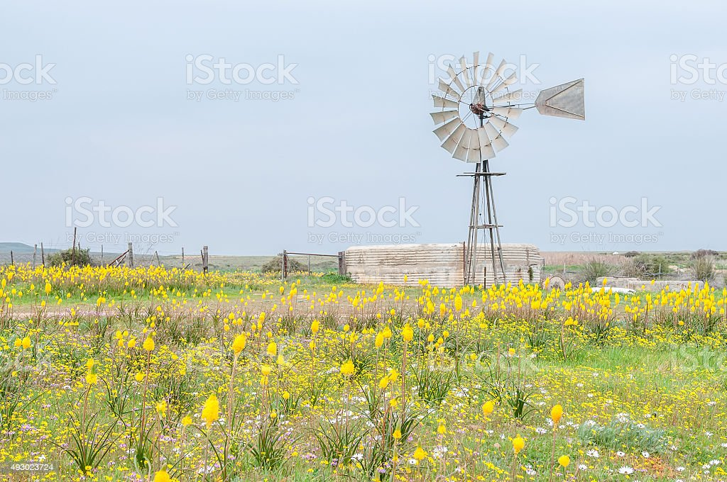 Yellow Kastert and windmill with dam stock photo