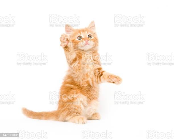 Yellow kitten playing picture id147671008?b=1&k=6&m=147671008&s=612x612&h=qk0x1v1 oibwpu4m1y12vgh70yyct2iqvndxuuklf9c=