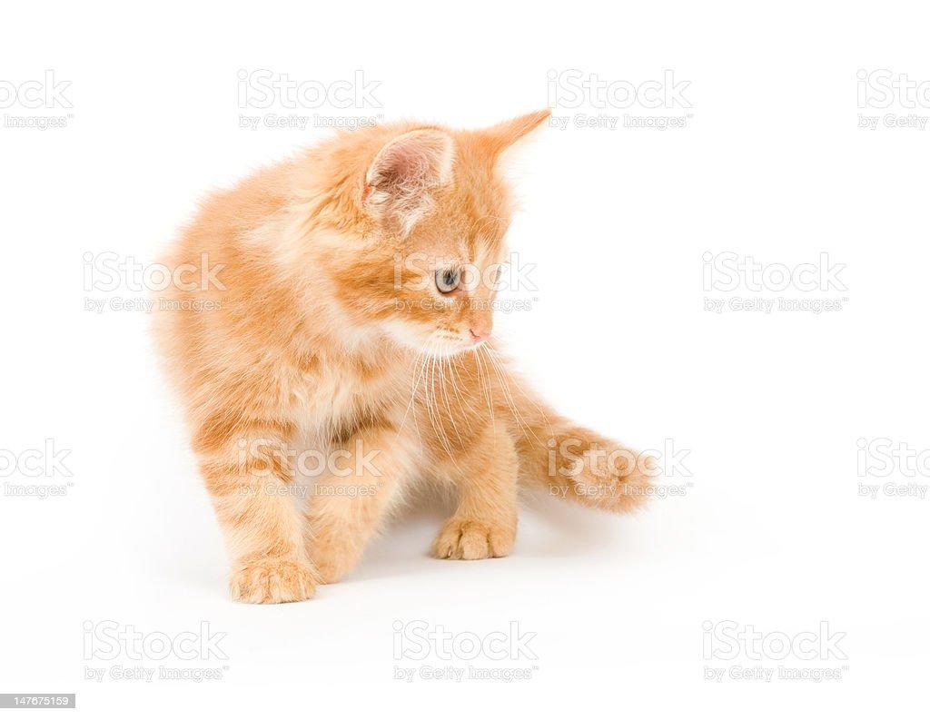Yellow kitten ready to pounce stock photo