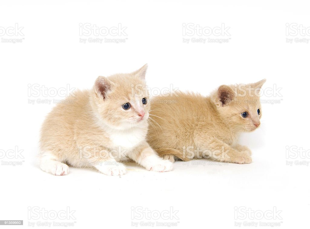 Yellow kittens on white background royalty-free stock photo