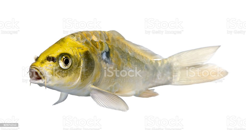 Yellow Koi ogon- Cyprinus carpio royalty-free stock photo