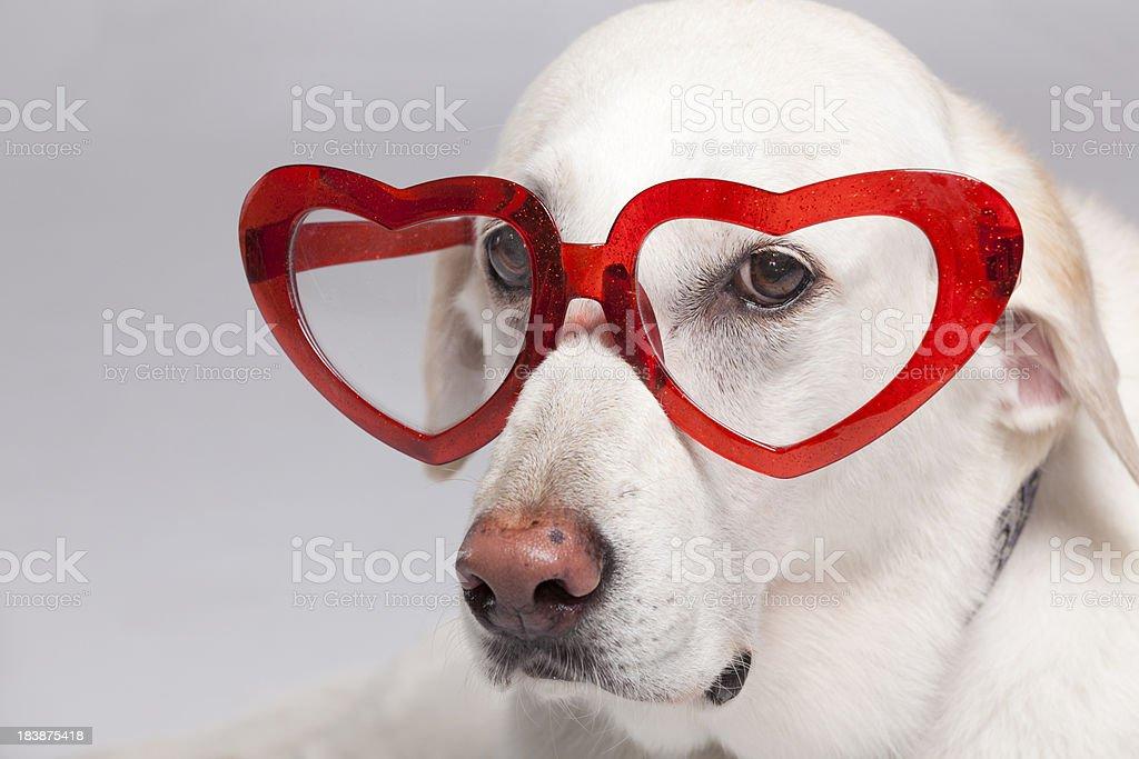yellow lab dog love glasses stock photo