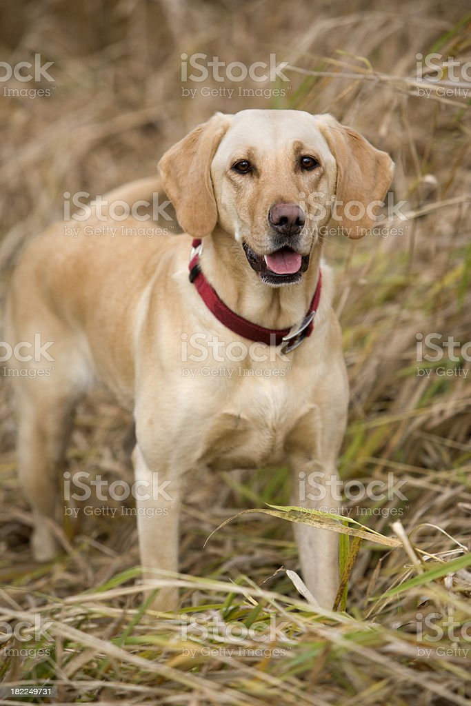Yellow Lab Hunting royalty-free stock photo