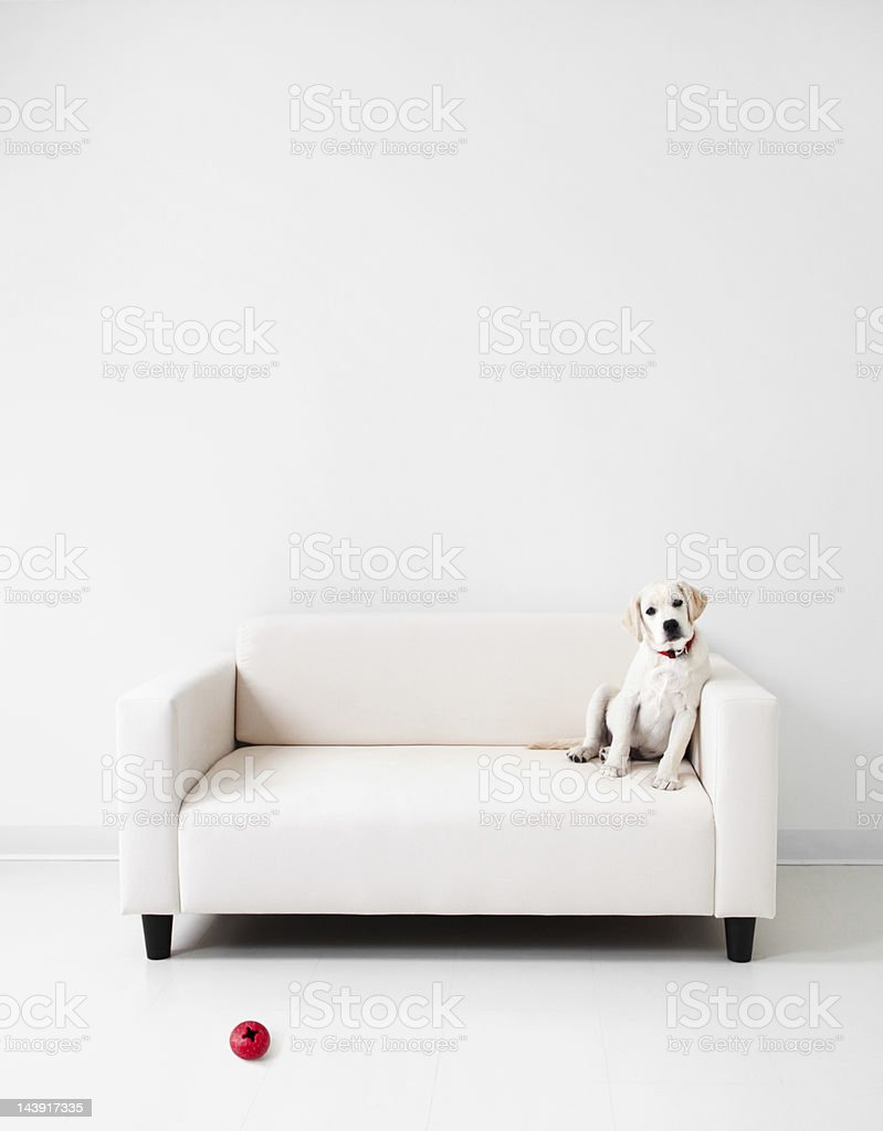 Yellow lab in a white room royalty-free stock photo