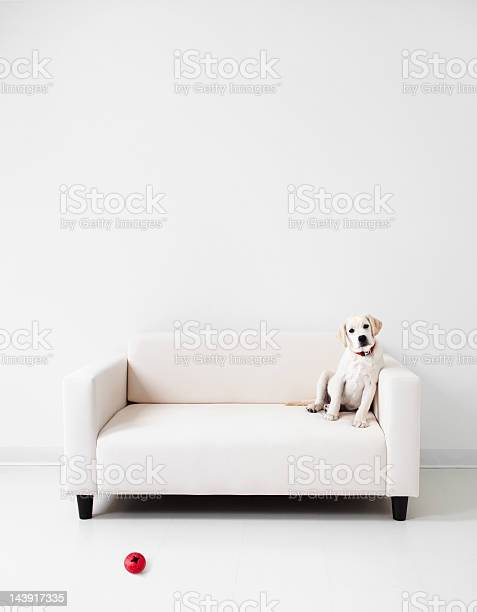 Yellow lab in a white room picture id143917335?b=1&k=6&m=143917335&s=612x612&h=og0agb1ufzb78z5ogls41o692ebkwt4c0ej2pjk7y8a=