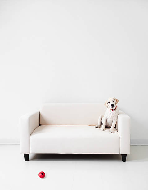 Yellow lab in a white room stock photo