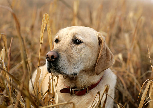 Yellow Lab in Corn Field Yellow Labrador Retriever resting in the winter corn field after a long walk. hunting dog stock pictures, royalty-free photos & images
