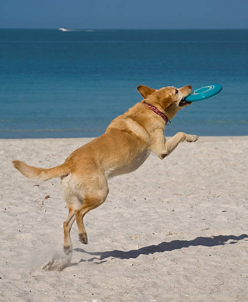 Yellow lab in midair catches frizbee at the beach picture id157330765?b=1&k=6&m=157330765&s=612x612&w=0&h=f6x1sow6gfnuynr1uozhuqd uqspd6tvz9ox3rjsstw=
