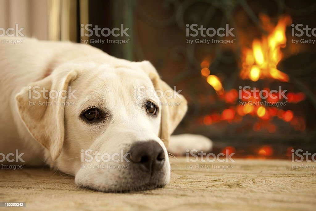 Yellow lab laying by the fire stock photo