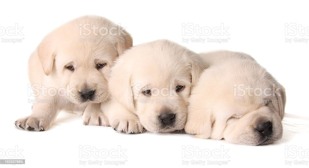 Yellow lab puppies stock photo