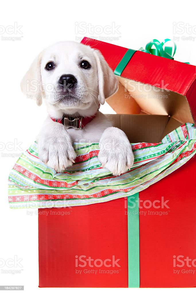 Yellow Lab Puppy In A Christmas Box Stock Photo Download Image Now Istock
