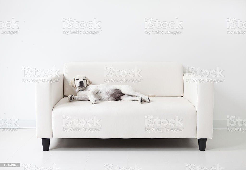 Yellow lab puppy lounging on a white couch stock photo