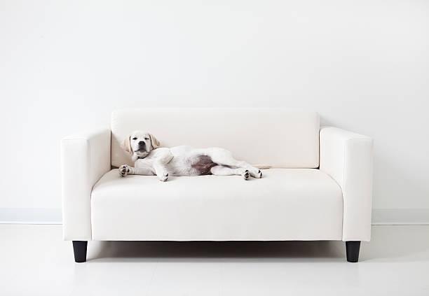 yellow lab welpe sich auf einem weißen sofa - hunde träger stock-fotos und bilder