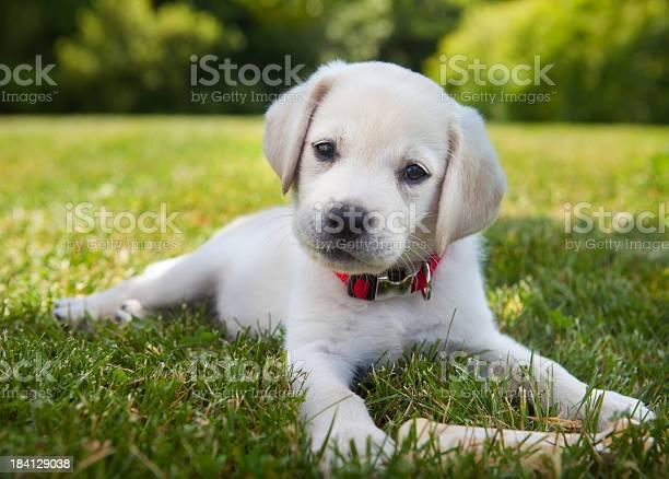 Yellow lab puppy outdoors picture id184129038?b=1&k=6&m=184129038&s=612x612&h=vpwf3fards4  ratmqykigbsgxgxgcjnmz7cbqmrxdy=