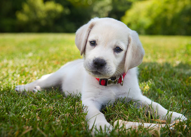 Yellow lab puppy outdoors An eight week old yellow Labrador Retriever puppy outdoors lying in the grass. retriever stock pictures, royalty-free photos & images